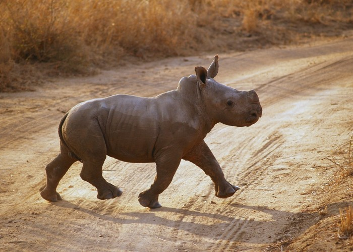 Blach-Rhino-Baby The Western Black Rhinoceros Declared Extinct Because of Heavy Poaching