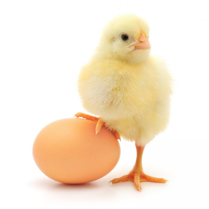 Chick-on-an-egg2 Do You Want to Lose Weight? Eat These 25 Superfoods
