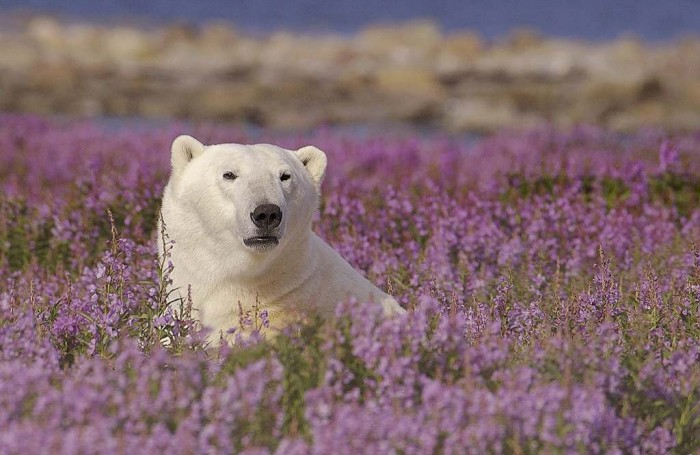 Churchill_Wild_Bear_Dennis_Fast Adventure Travel Tips to Enjoy the Most Exciting Trip in Your Life