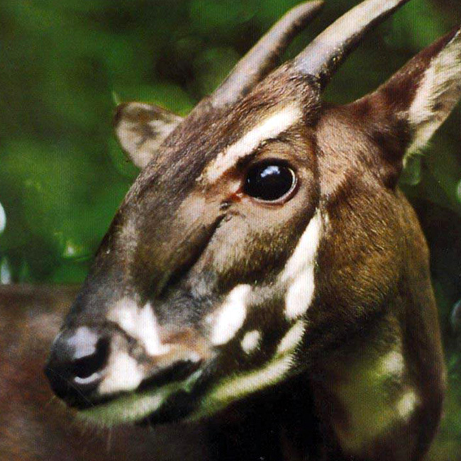 F7403272D9C86C3E78AFC43ACF7DFD A New Photo of Saola Renews Our Hope for Its Recovery