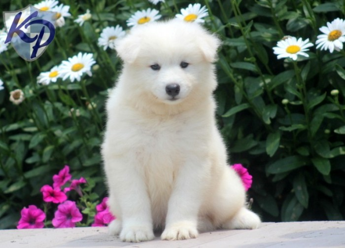 Franklin-Samoyed Samoyed Is a Fluffy, Gorgeous and Perfect Companion Dog