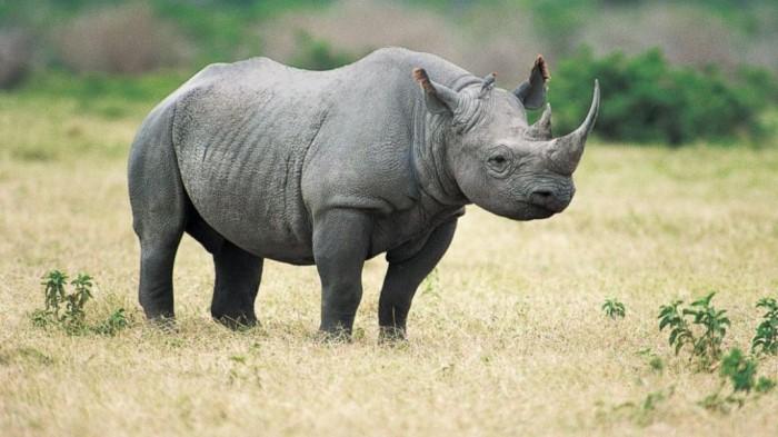 GTY_black_rhino_lpl_131027_16x9_992 The Western Black Rhinoceros Declared Extinct Because of Heavy Poaching