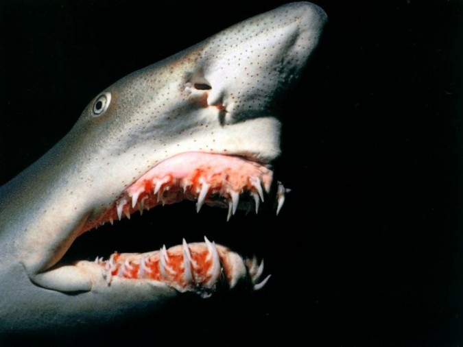 Goblin-Shark-Wallpaper-675x506 Have You Ever Seen Such a Scary & Goblin Shark with Two Faces?