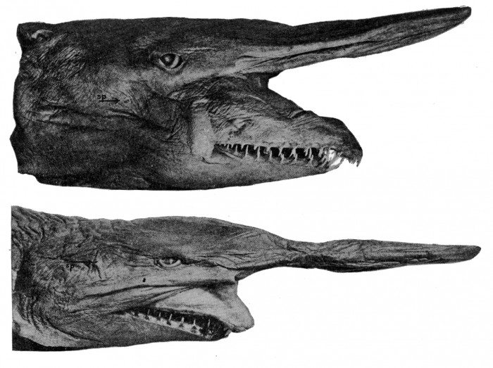 Goblin-shark-jaws Have You Ever Seen Such a Scary & Goblin Shark with Two Faces?