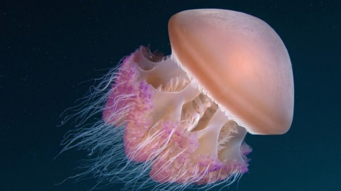 Jellyfish-Under-The-Sea-wallpapers-hd-background-Jellyfish-Under-The-Sea Be Careful! Deadly Jellyfish That Can Kill You While Swimming