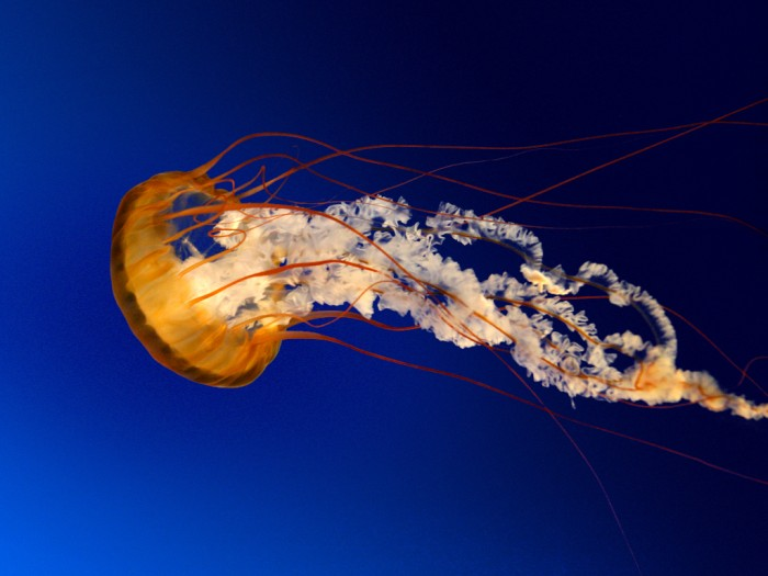 Jellyfish Be Careful! Deadly Jellyfish That Can Kill You While Swimming