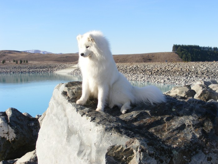 NZ_Samoyed Samoyed Is a Fluffy, Gorgeous and Perfect Companion Dog