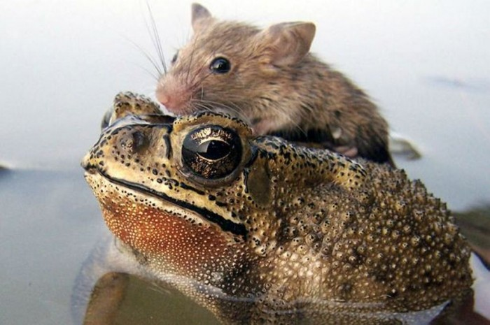 Rat-hitches-a-ride-with-a-Frog-2349782 A Frog Saves a Tiny Rat from Certain Death