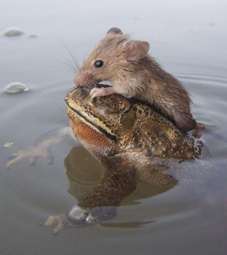 Rat-hitches-a-ride-with-a-Frog-2349791 A Frog Saves a Tiny Rat from Certain Death