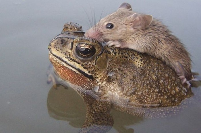 Rat-hitches-a-ride-with-a-Frog-2349794 A Frog Saves a Tiny Rat from Certain Death