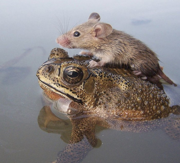 SNN0915A-620_1825448a A Frog Saves a Tiny Rat from Certain Death