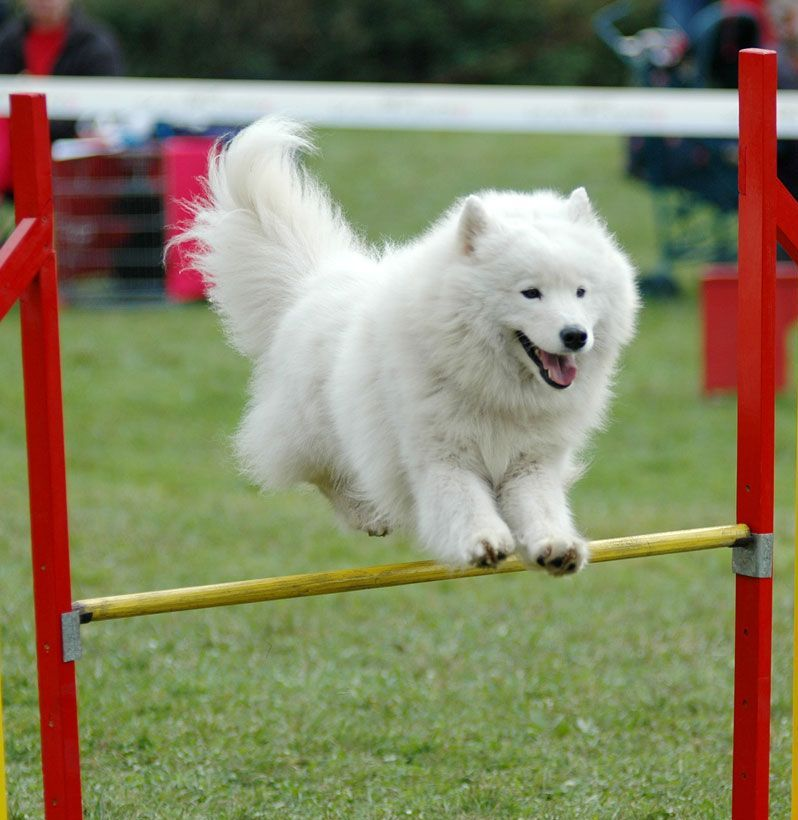 Samoyed-11 Samoyed Is a Fluffy, Gorgeous and Perfect Companion Dog
