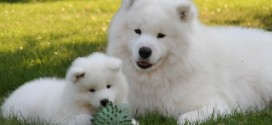 Samoyed Is a Fluffy, Gorgeous and Perfect Companion Dog