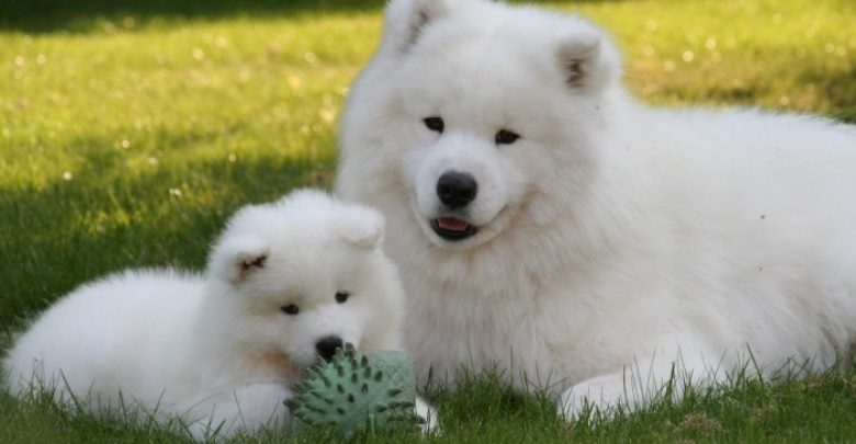 Photo of Samoyed Is a Fluffy, Gorgeous and Perfect Companion Dog