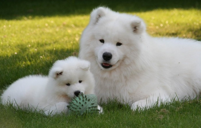 Samoyed-Puppies-2 Samoyed Is a Fluffy, Gorgeous and Perfect Companion Dog