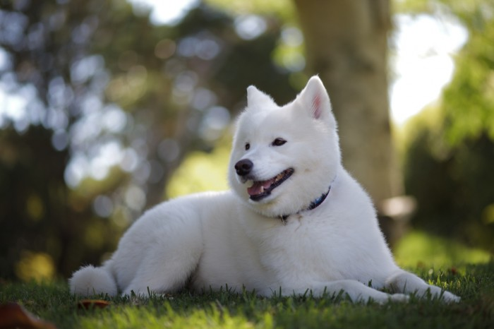 Samoyed. Samoyed Is a Fluffy, Gorgeous and Perfect Companion Dog