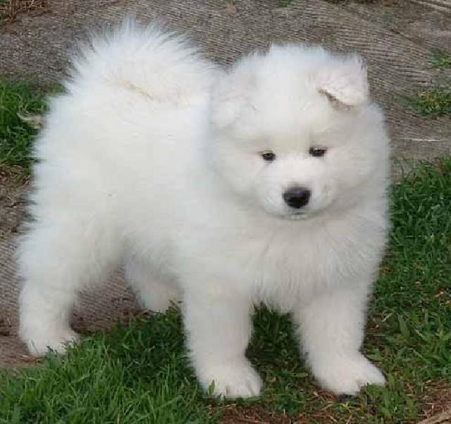 Samoyed Samoyed Is a Fluffy, Gorgeous and Perfect Companion Dog