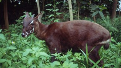 Photo of A New Photo of Saola Renews Our Hope for Its Recovery
