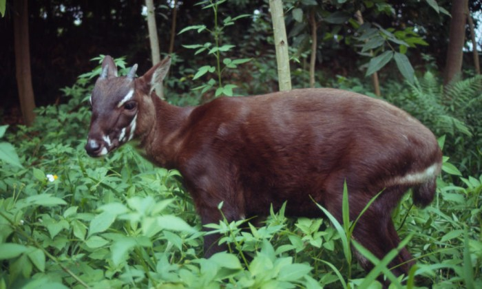 Saola_Circle_image_HI_37218 A New Photo of Saola Renews Our Hope for Its Recovery