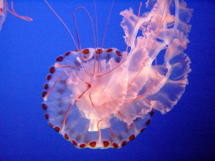 Sea_Nettle_Jelly_1 Be Careful! Deadly Jellyfish That Can Kill You While Swimming