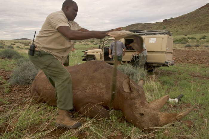 SimsonStraddles-Anaesthetised-Rhino-to-Cover-Eyes-Photo-credit-Dave-Hamman-Photography-1 The Western Black Rhinoceros Declared Extinct Because of Heavy Poaching