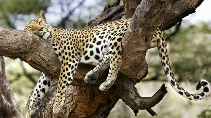 Sleeping-Cheetah-Tree-Funny-Animal Easy to Follow Tricks & Secrets for Taking Better Digital Photographs