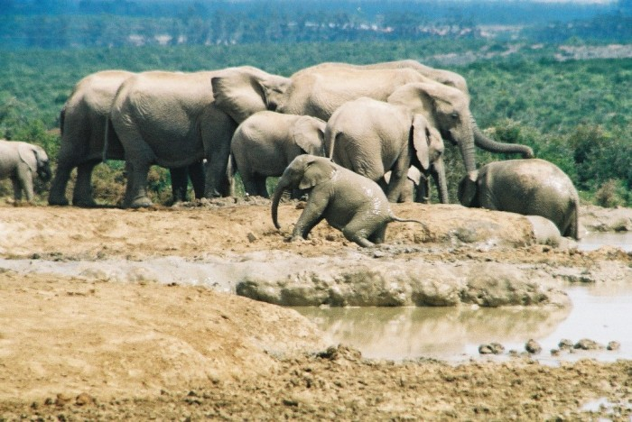South-Africa-Eastern-Cape-Addo-Park-baby-elephant-taking-mudbathing-emerging-from-mud-mudbath-many-elephants-of-various-ages-in-background-WL Adventure Travel Destinations to Enjoy an Unforgettable Holiday