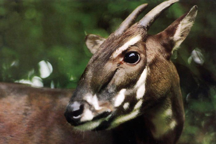 a-saola-pauses-in-the-ju-011 A New Photo of Saola Renews Our Hope for Its Recovery