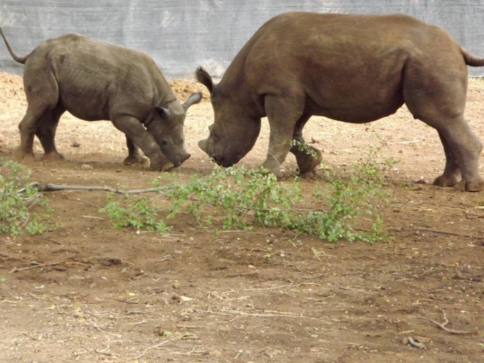 bb-and-lp-first-meeting The Western Black Rhinoceros Declared Extinct Because of Heavy Poaching