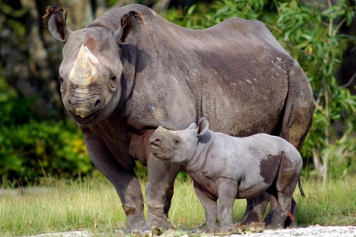 black-rhino-calf The Western Black Rhinoceros Declared Extinct Because of Heavy Poaching