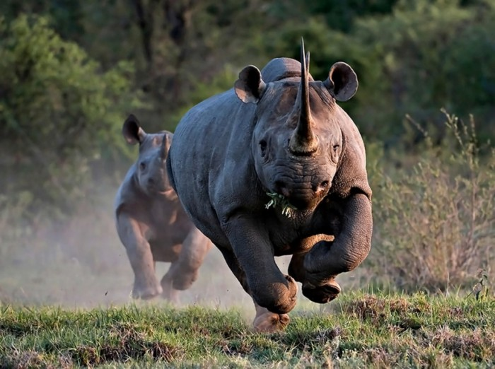black_rhino-1 The Western Black Rhinoceros Declared Extinct Because of Heavy Poaching
