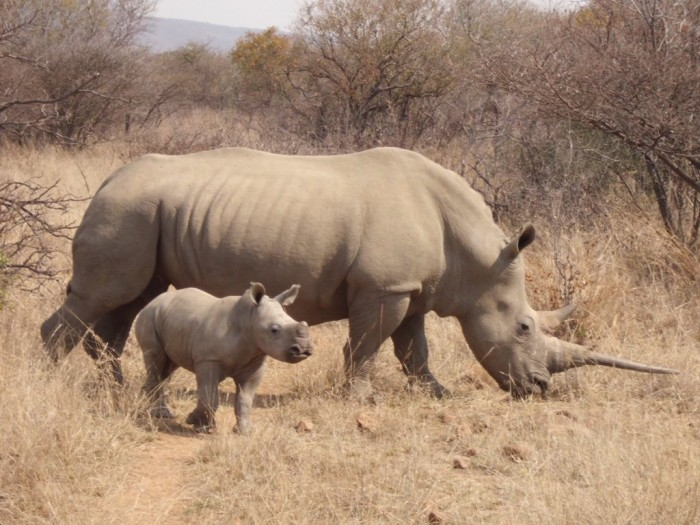 cimg1273 The Western Black Rhinoceros Declared Extinct Because of Heavy Poaching