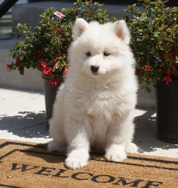 darren_ls_retake Samoyed Is a Fluffy, Gorgeous and Perfect Companion Dog