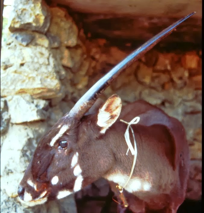 female_saola4 A New Photo of Saola Renews Our Hope for Its Recovery