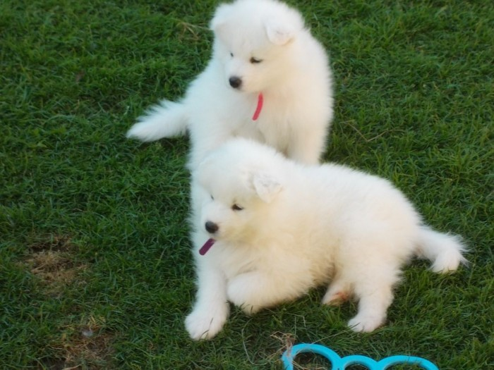 full-pedigree-samoyed-puppies-for-sale-520e8a3e15277 Samoyed Is a Fluffy, Gorgeous and Perfect Companion Dog
