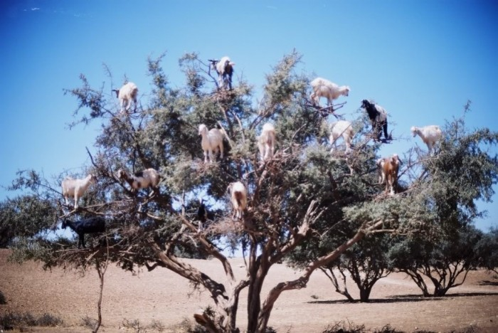 goats-in-a-tree Extraordinary and Weird Goats that Can Fly & Stand on the Branches