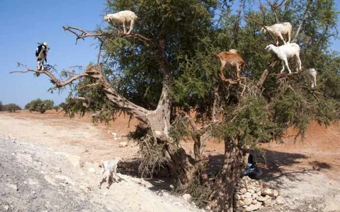 goats-in-a-tree_2325409k Extraordinary and Weird Goats that Can Fly & Stand on the Branches