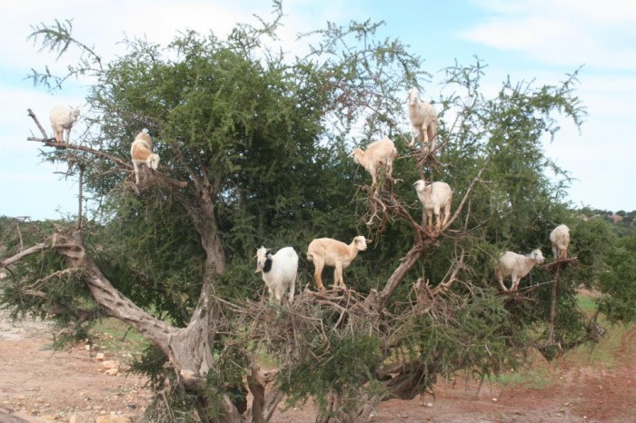 goats-in-tree Extraordinary and Weird Goats that Can Fly & Stand on the Branches