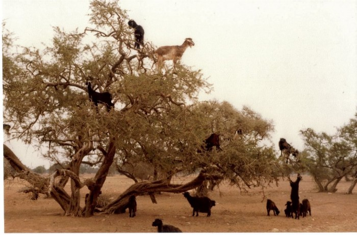 goats-trees-1 Extraordinary and Weird Goats that Can Fly & Stand on the Branches