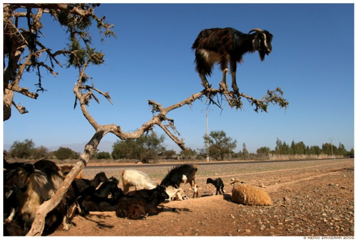 goats Extraordinary and Weird Goats that Can Fly & Stand on the Branches