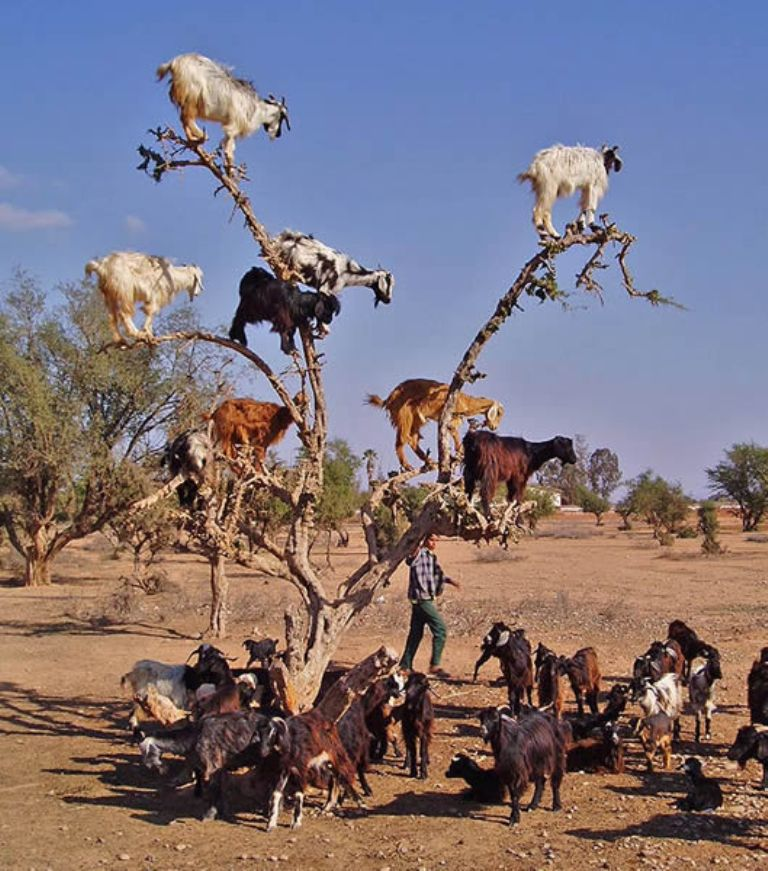 goats_of_morocco_1 Extraordinary and Weird Goats that Can Fly & Stand on the Branches