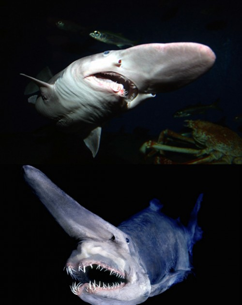 goblin_shark-e1301335211724 Have You Ever Seen Such a Scary & Goblin Shark with Two Faces?
