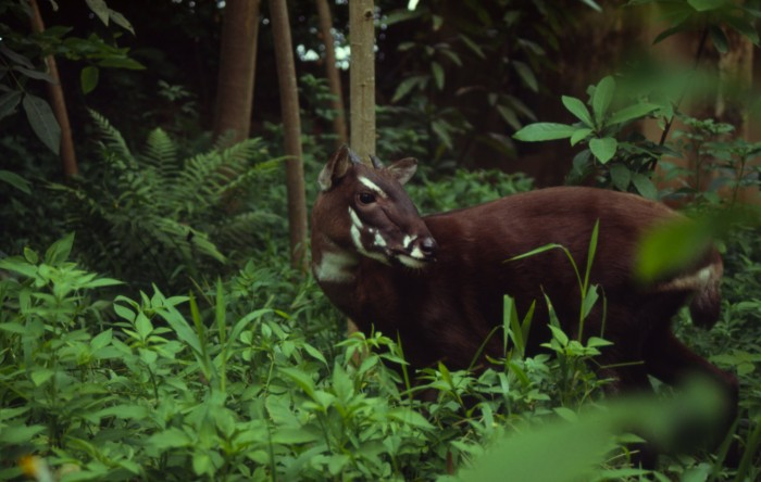 hi_37199 A New Photo of Saola Renews Our Hope for Its Recovery
