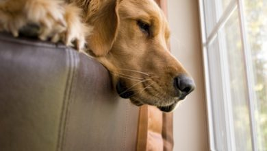 Photo of Canine separation anxiety