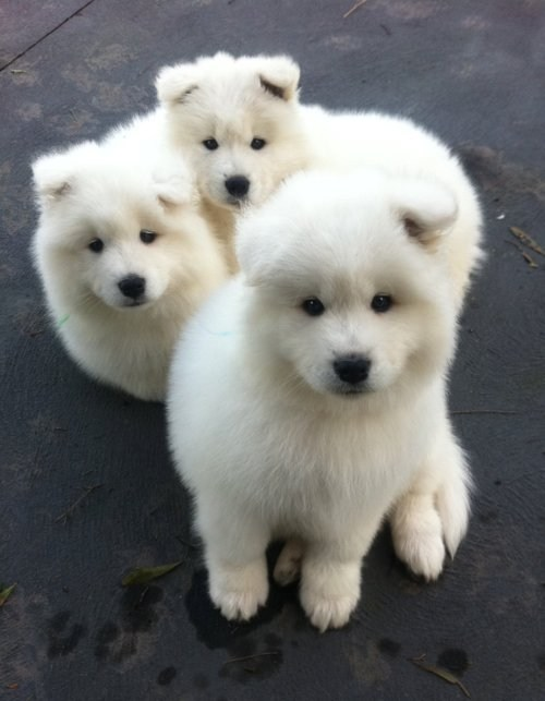 i.chzbgr Samoyed Is a Fluffy, Gorgeous and Perfect Companion Dog