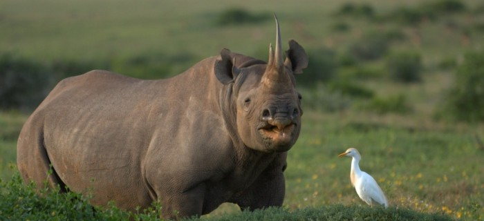 Photo of The Western Black Rhinoceros Declared Extinct Because of Heavy Poaching