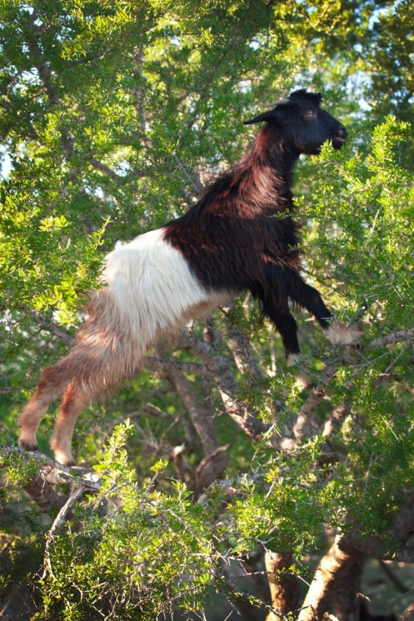 img_666020100314Gtree-climbing-goat Extraordinary and Weird Goats that Can Fly & Stand on the Branches