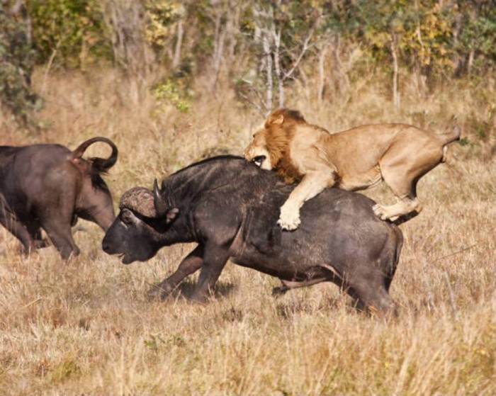 lion_attack_shutterstock_i Adventure Travel Tips to Enjoy the Most Exciting Trip in Your Life