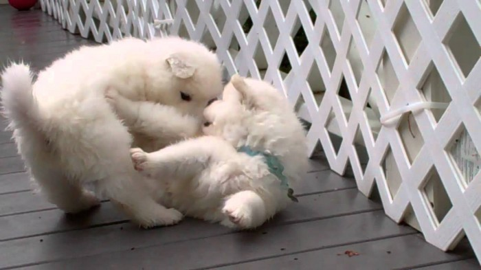 maxresdefault6 Samoyed Is a Fluffy, Gorgeous and Perfect Companion Dog