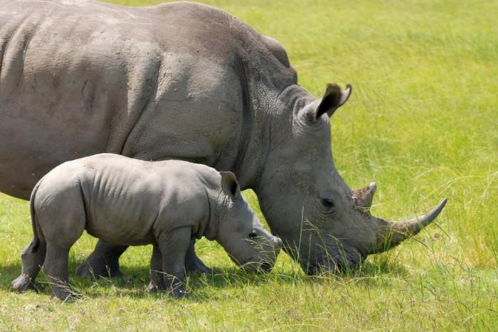 rhino-poaching-increase The Western Black Rhinoceros Declared Extinct Because of Heavy Poaching